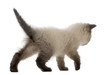 British Shorthair Kitten walking, 5 weeks old