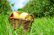 Fresh organic apples in the basket