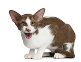Oriental shorthair sitting and meowing against white background poster