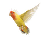 Portrait of Rosy-faced Lovebird flying, Agapornis roseicollis