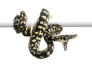 Jungle carpet python attacking, Morelia spilota cheynei