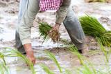 Rice transplanting in Siem Reap, Cambodia poster