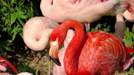 the flamingos are squabbling