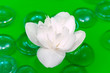 White Jasmine Flower Floating on Water