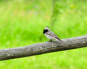 White Wagtail Bird Sitting on Perch