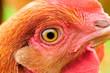 Chicken Eye Close-Up