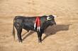 byk podczas corridy w hiszpanii