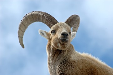 Ibex male
