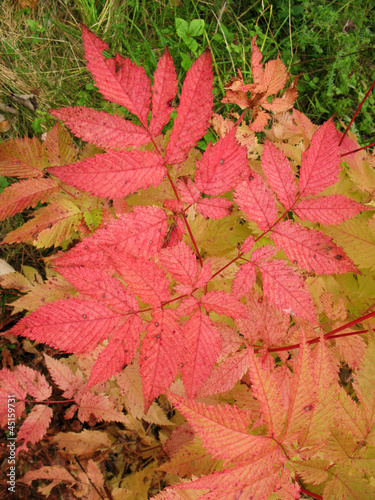Autumn leaves aruncus dioicus