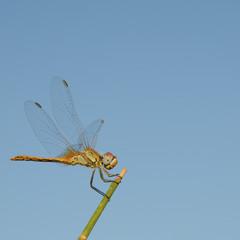 Macrophotographie de libellule