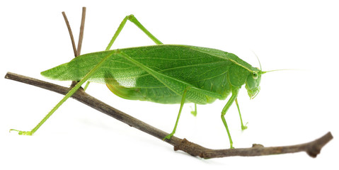 Green grasshopper on a twig over white background