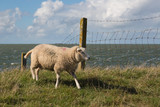 Sheep at Dutch dike of Flevoland