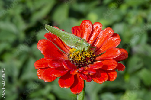 green grasshopper on red zinnia flower