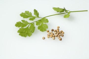 Korianderblaetter, Samen, Coriandrum sativum