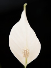 White lily flower, towards black background