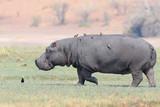 Fototapeta niebezpieczny - Republika Południowej Afryki - Dziki Ssak