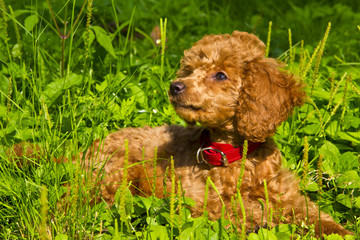 Poodle puppy lies on the grass