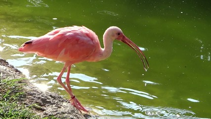 red ibis drinking