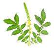 The Common agrimony (Agrimonia eupatoria). Herbal remedy.