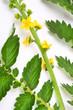 The Common agrimony (Agrimonia eupatoria). Herbal remedy.