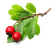 Hawthorn, Crataegus oxyacantha. Herbal remedy.