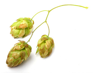 Common Hop, Humulus Lupulus. Herbal remedy.