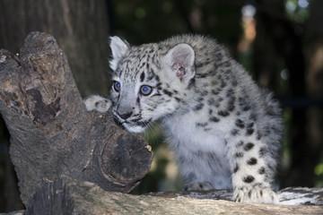 Snow leopard (Uncia uncia) cub