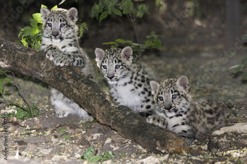 Poster Luipaard Snow leopard (Uncia uncia) cubs