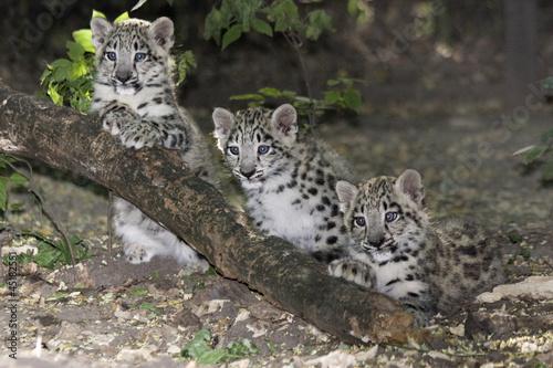 Fotobehang Luipaard Snow leopard (Uncia uncia) cubs