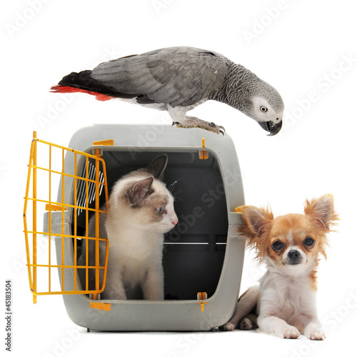 kitten in pet carrier, parrot and chihuahua