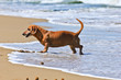 dachshund dog on the beach