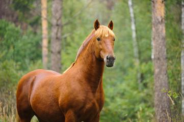chestnut horse portrait