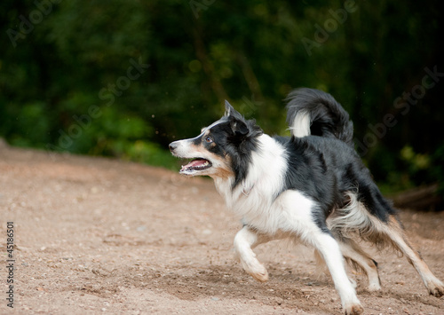 Border collie dog running on the lawn