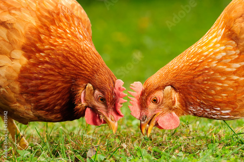 Fotobehang Kip Domestic Chickens Eating Grains and Grass