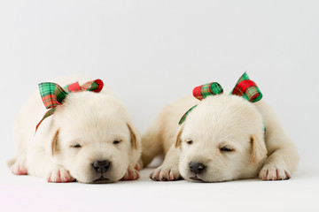 Portrait of cute labrador puppies