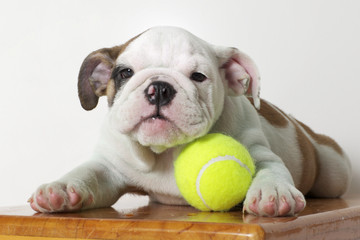 English Bulldog Puppy with Tennis Ball