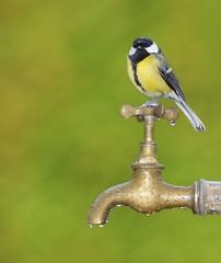 Pájaro esperando para beber agua.