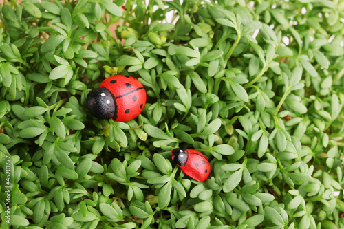 Garden cress with ladybugs close-up background
