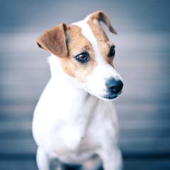 Jack Russell terrier portrait.