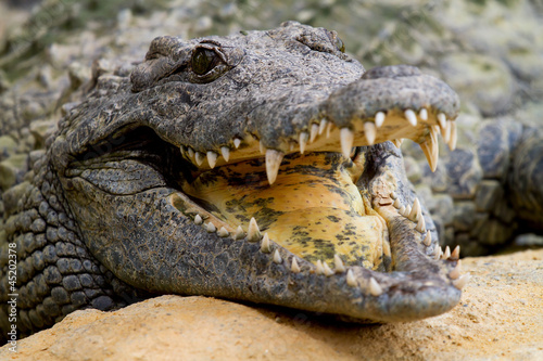 Crocodile is cooling down with mouth open