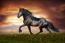 Noir cheval frison au trot