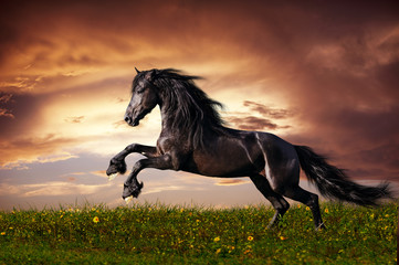 Black Friesian horse gallop