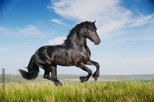 Beautiful black horse running gallop