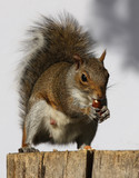 Portrait of a Grey Squirrel eating hazelnuts on a log