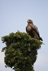 Golden Eagle in Kenya