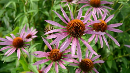 medical (Echinacea purpurea)  flowers in summer farm garden