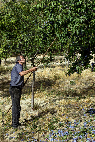Senior farmer picking plums
