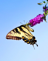 Eastern Tiger Swallowtail butterfly on butterfly bush flower
