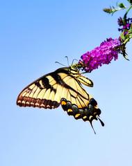 Eastern Tiger Swallowtail butterfly on butterfly bush flower