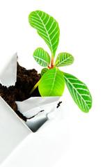 Pflanze bricht durch